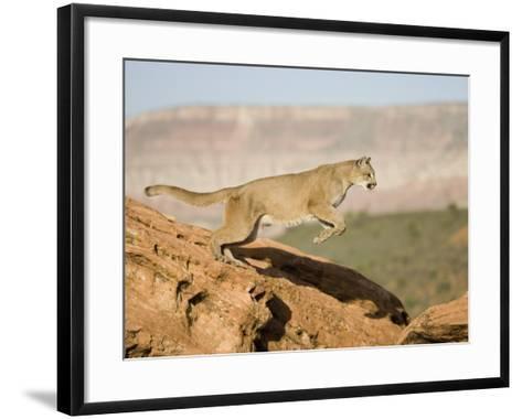 A Puma, Cougar or Mountain Lion, Running and Jumping, Felis Concolor, North America-Joe McDonald-Framed Art Print