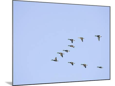 Mallard Ducks Flying in a V Formation (Anas Platyrhynchos). USA-Neal Mishler-Mounted Photographic Print