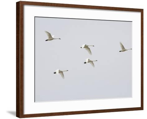 Tundra Swans in Flight (Olor Columbianus), Montana, USA-Neal Mishler-Framed Art Print