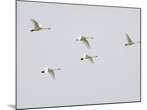 Tundra Swans in Flight (Olor Columbianus), Montana, USA-Neal Mishler-Mounted Photographic Print