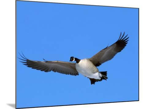 Canada Goose (Branta Canadensis) in Flight, North America-Neal Mishler-Mounted Photographic Print