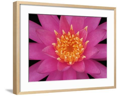 Hybrid Water Lily Flower Close-Up-Adam Jones-Framed Art Print