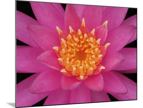 Hybrid Water Lily Flower Close-Up-Adam Jones-Mounted Photographic Print