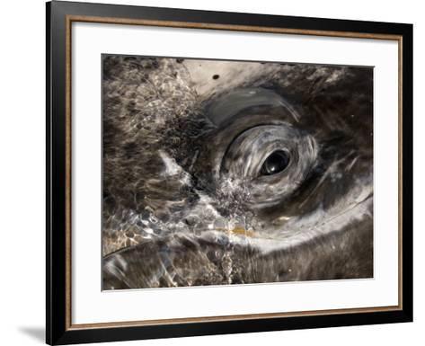 Eye of a Gray Whale, Eschrichtius Robustus, San Ignacio Lagoon, Baja California, Mexico-Gerald & Buff Corsi-Framed Art Print