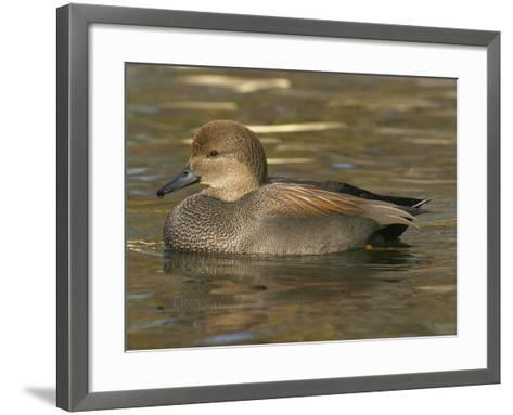 Male Gadwall Duck Swimming, Anas Strepera, North America-Jack Michanowski-Framed Art Print