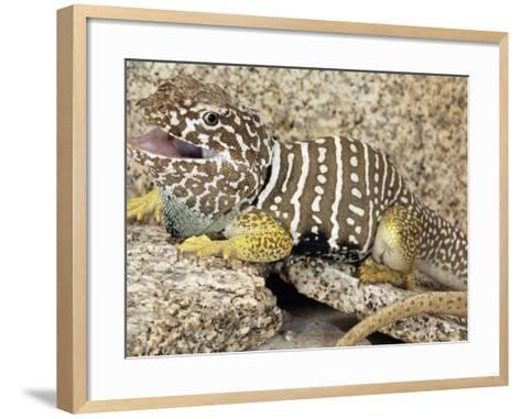 An Adult Baja Collared Lizard, Crotaphytus, in Breeding Coloration-Gerold Merker-Framed Art Print
