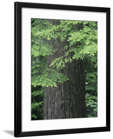 Needles and Bark of the Eastern Hemlock, Tsuga Canadensis, North America-David Sieren-Framed Art Print
