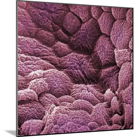 A Scanning Electron Micrograph of the Epithelial Cell Lining of the Bladder-David Phillips-Mounted Photographic Print