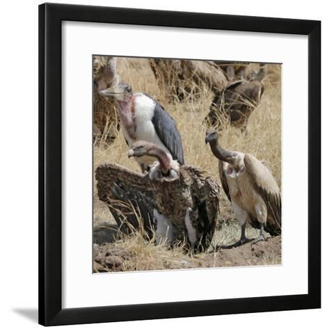 Ruppell's Griffon Vulture (Gyps Rueppellii) and Marabou Stork (Leptoptilos Crumeniferus--Framed Art Print