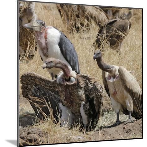 Ruppell's Griffon Vulture (Gyps Rueppellii) and Marabou Stork (Leptoptilos Crumeniferus--Mounted Photographic Print
