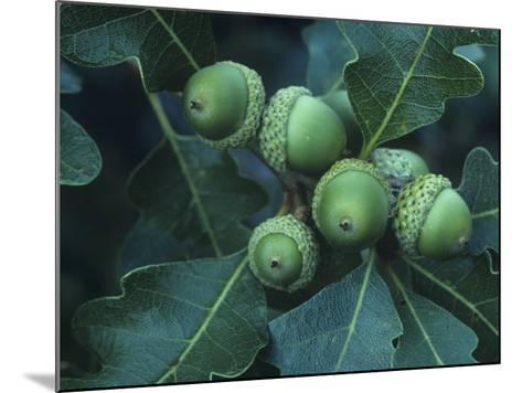 Gambel Oak Tree Leaves and Acorns, Quercus Gambelii, Southwestern North America-Doug Sokell-Mounted Photographic Print
