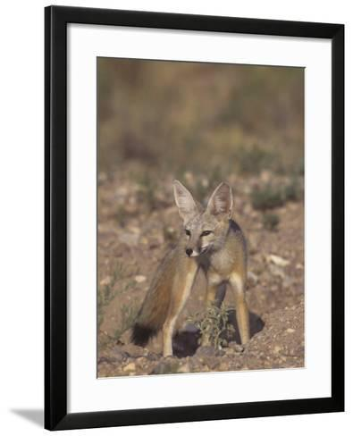 Kit Fox (Vulpes Macrotis), Southwestern North America-Rick & Nora Bowers-Framed Art Print