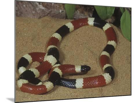 Arizona Coral Snake or Western Coral Snake, Micruroides Euryxanthus-Gerold & Cynthia Merker-Mounted Photographic Print