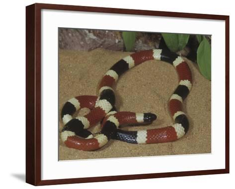 Arizona Coral Snake or Western Coral Snake, Micruroides Euryxanthus-Gerold & Cynthia Merker-Framed Art Print