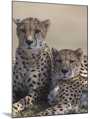 Two Male Cheetahs (Acinonyx Jubatus), Kenya, Africa-Tom Walker-Mounted Photographic Print