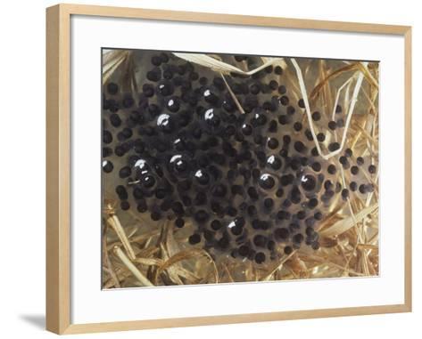Southern Leopard Frog Eggs, Rana Pipiens Sphenocephala-Jim Merli-Framed Art Print