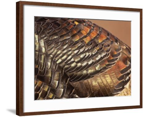 Close-Up of Wild Turkey Feathers, Mealagris Gallopavo, North America-Arthur Morris-Framed Art Print