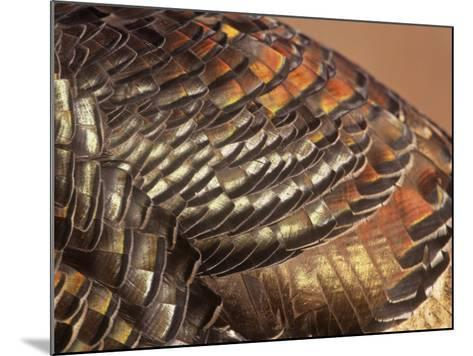 Close-Up of Wild Turkey Feathers, Mealagris Gallopavo, North America-Arthur Morris-Mounted Photographic Print
