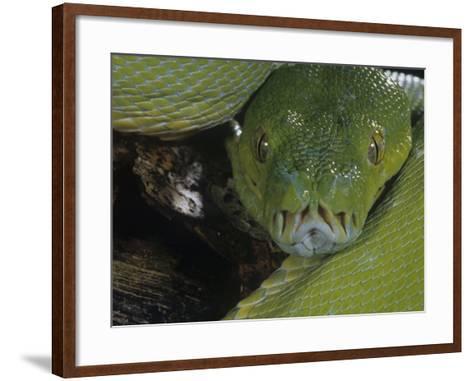 Green Tree Python Showing Pits., Chondropython Viridi, New Guina-Joe & Mary Ann McDonald-Framed Art Print