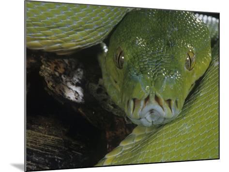 Green Tree Python Showing Pits., Chondropython Viridi, New Guina-Joe & Mary Ann McDonald-Mounted Photographic Print