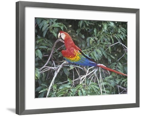 Scarlet Macaw, Ara Macao, Amazonia, Brazil, South America-Arthur Morris-Framed Art Print