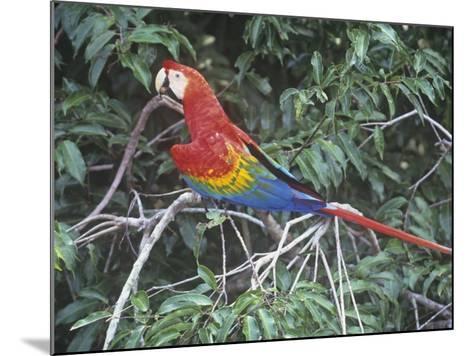 Scarlet Macaw, Ara Macao, Amazonia, Brazil, South America-Arthur Morris-Mounted Photographic Print