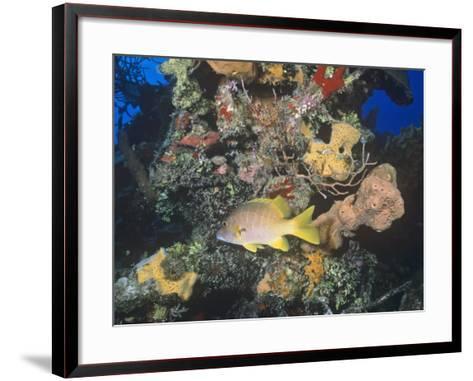 Schoolmaster Snapper (Lutjanus Apodus) Among Corals, Caribbean-Joan Richardson-Framed Art Print