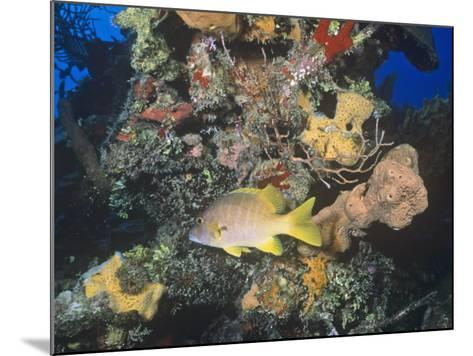 Schoolmaster Snapper (Lutjanus Apodus) Among Corals, Caribbean-Joan Richardson-Mounted Photographic Print