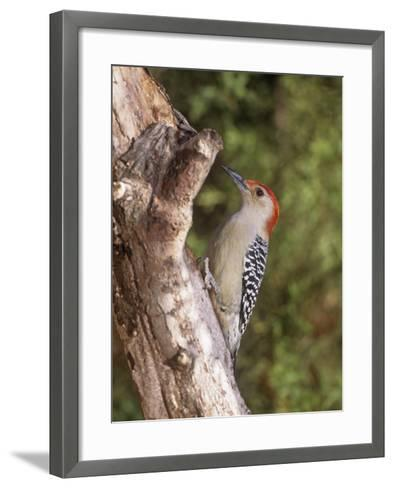 Red-Bellied Woodpecker, Melanerpes Carolinus-Gary Carter-Framed Art Print