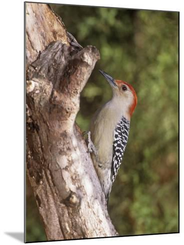 Red-Bellied Woodpecker, Melanerpes Carolinus-Gary Carter-Mounted Photographic Print