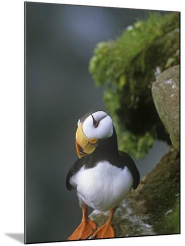 Horned Puffin (Fratercula Corniculata), St. George Island, Alaska, USA-Tom Walker-Mounted Photographic Print
