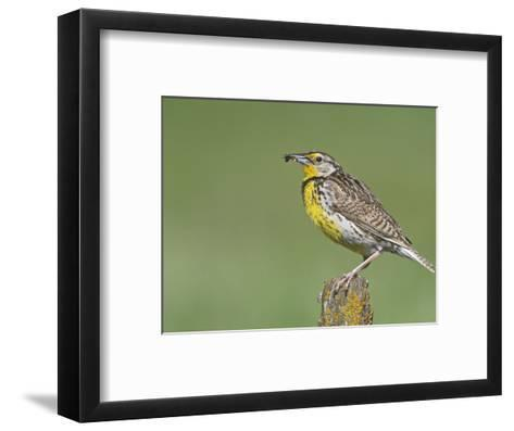 Western Meadowlark with an Insect in its Bill (Sturnella Neglecta), North America-Steve Maslowski-Framed Art Print
