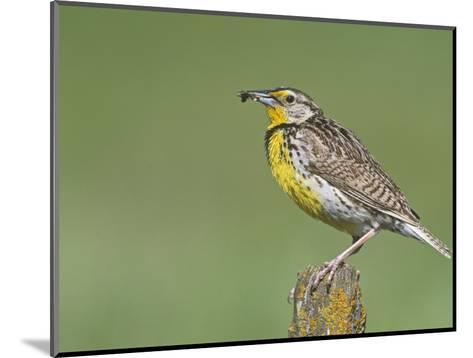 Western Meadowlark with an Insect in its Bill (Sturnella Neglecta), North America-Steve Maslowski-Mounted Photographic Print