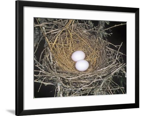 Common Ground Dove Nest with Two Eggs, Columbina Passerina, Texas, USA-Charles Melton-Framed Art Print