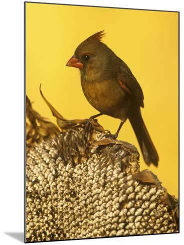 A Female Northern Cardinal (Cardinalis Cardinalis) on a Sunflower Seed Head, Eastern North America-Steve Maslowski-Mounted Photographic Print