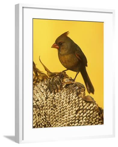 A Female Northern Cardinal (Cardinalis Cardinalis) on a Sunflower Seed Head, Eastern North America-Steve Maslowski-Framed Art Print