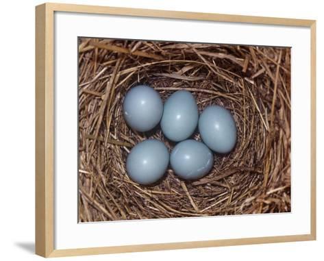 Eastern Bluebird Nest with Five Blue Eggs, Sialia Sialis, Eastern North America-Charles Melton-Framed Art Print