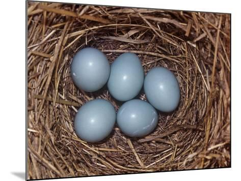 Eastern Bluebird Nest with Five Blue Eggs, Sialia Sialis, Eastern North America-Charles Melton-Mounted Photographic Print