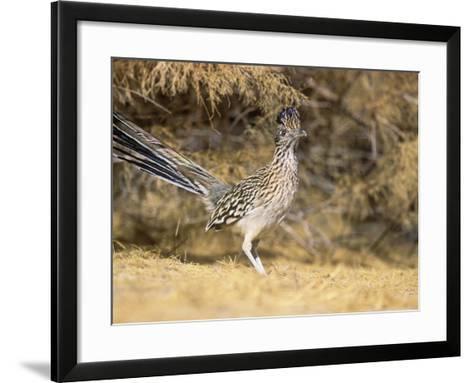Greater Roadrunner (Geococcyx Californianus), New Mexico, USA-Steve Maslowski-Framed Art Print