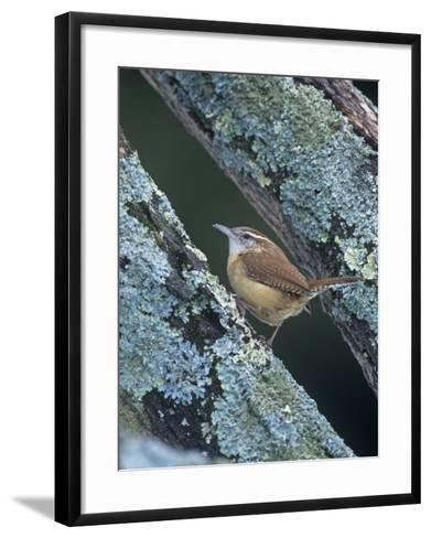 Carolina Wren (Thryothorus Ludovicianus). Eastern USA-Steve Maslowski-Framed Art Print