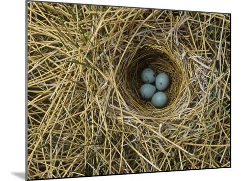 Red-Winged Blackbird Nest with Four Eggs in a Marsh, Agelaius Phoeniceus, North America-John & Barbara Gerlach-Mounted Photographic Print