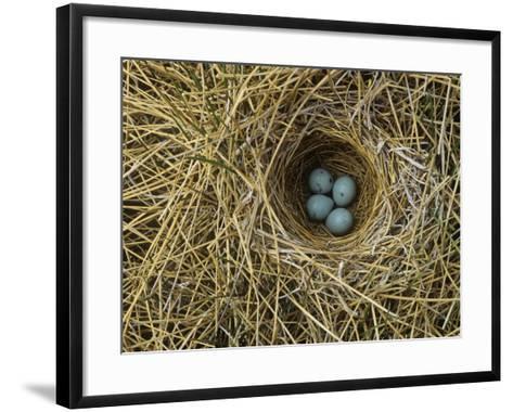 Red-Winged Blackbird Nest with Four Eggs in a Marsh, Agelaius Phoeniceus, North America-John & Barbara Gerlach-Framed Art Print