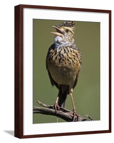 Rufous-Naped Lark Singing, Mirafra Africana, Masai Mara Game Refuge, Kenya, Africa-Joe McDonald-Framed Art Print