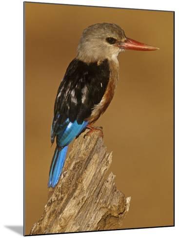 Gray-Headed Kingfisher, Halcyon Leucocephalus, Samburu Game Refuge, Kenya, Africa-Joe McDonald-Mounted Photographic Print