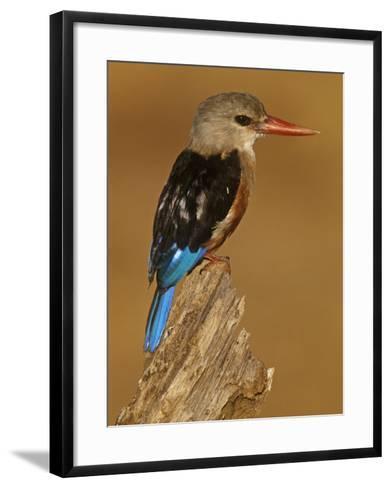 Gray-Headed Kingfisher, Halcyon Leucocephalus, Samburu Game Refuge, Kenya, Africa-Joe McDonald-Framed Art Print