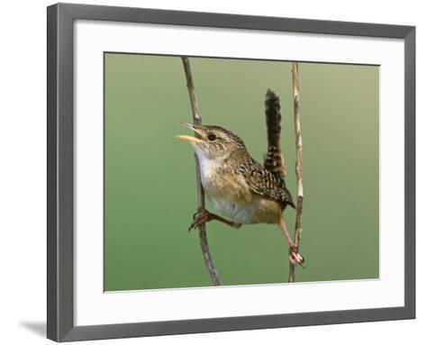 Sedge Wren Singing (Cistothorus Platensis). Central USA-Steve Maslowski-Framed Art Print