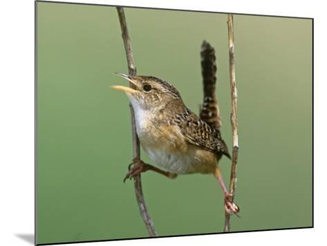 Sedge Wren Singing (Cistothorus Platensis). Central USA-Steve Maslowski-Mounted Photographic Print