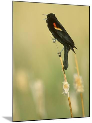 Male Red-Winged Blackbird Singing, Agelaius Phoeniceus, North America-John & Barbara Gerlach-Mounted Photographic Print