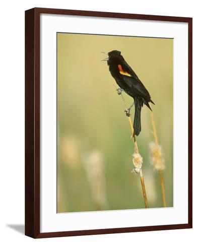 Male Red-Winged Blackbird Singing, Agelaius Phoeniceus, North America-John & Barbara Gerlach-Framed Art Print