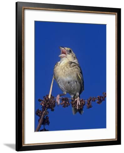 Grasshopper Sparrow Singing, Ammodramus Savannarum, Eastern USA-Joe McDonald-Framed Art Print